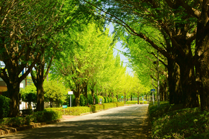 新緑のイチョウ並木の写真素材 [FYI03059287]
