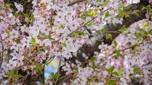 桜の写真素材 [FYI03059411]