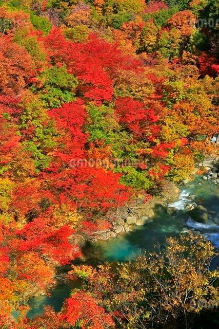 松川渓谷の紅葉の写真素材 [FYI03059609]
