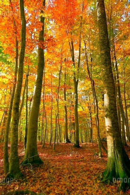 白神山地 ブナ林の紅葉の写真素材 [FYI03059615]