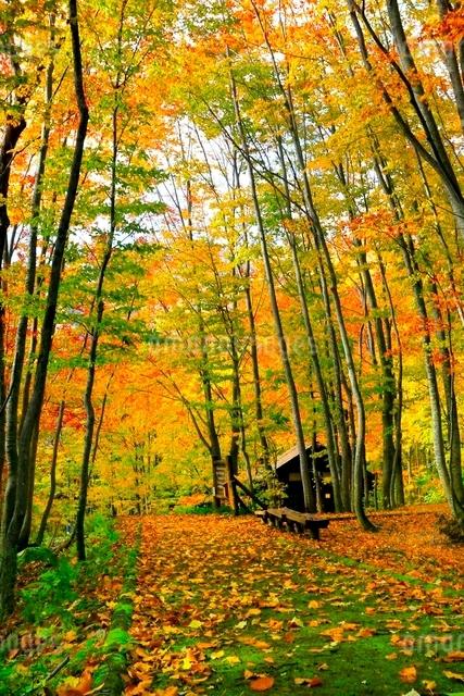 白神山地 ブナ林の紅葉と道の写真素材 [FYI03059619]