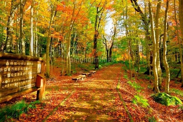 白神山地 ブナ林の紅葉と道の写真素材 [FYI03059621]