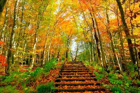 白神山地 ブナ林の紅葉と道の写真素材 [FYI03059623]