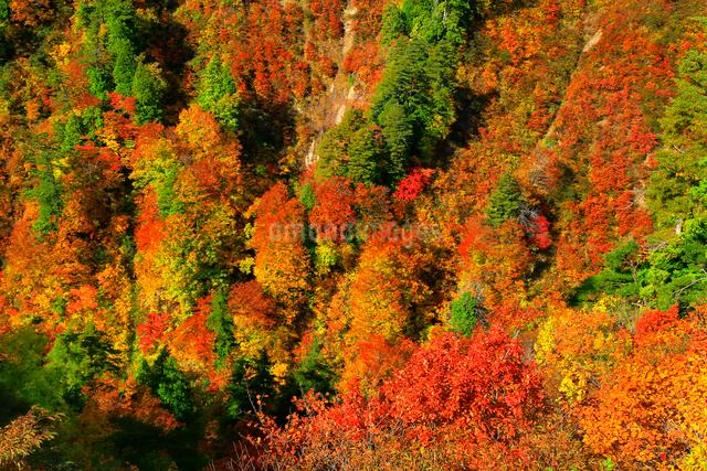 白神山地 釣瓶落峠の紅葉の写真素材 [FYI03059628]