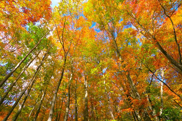 白神山地 ブナ林の紅葉の写真素材 [FYI03059629]