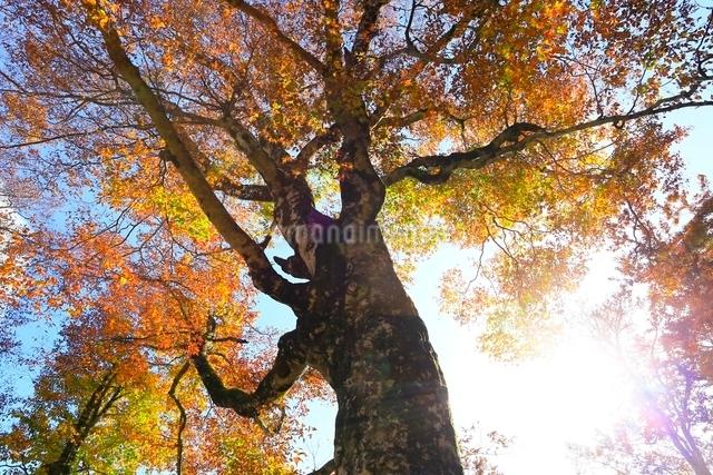 白神山地 ブナの巨木の紅葉の写真素材 [FYI03059635]