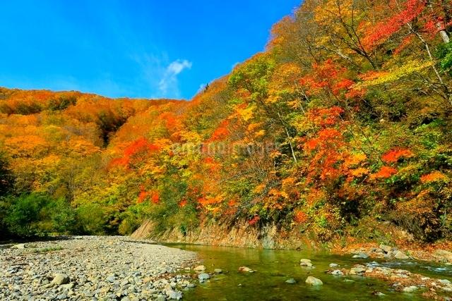 白神山地 暗門川と紅葉の写真素材 [FYI03059637]