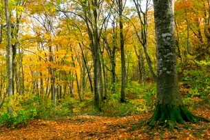 白神山地 ブナ林の紅葉の写真素材 [FYI03059643]