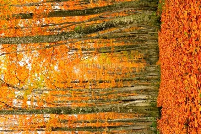 八甲田 ブナ林の紅葉の写真素材 [FYI03059647]