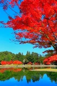 毛越寺の紅葉と大泉が池の写真素材 [FYI03059712]