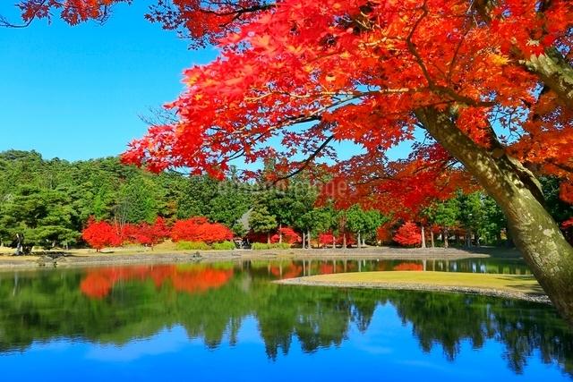毛越寺の紅葉と大泉が池の写真素材 [FYI03059713]