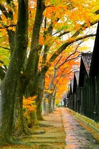 山居倉庫とケヤキ並木の紅葉の写真素材 [FYI03059715]