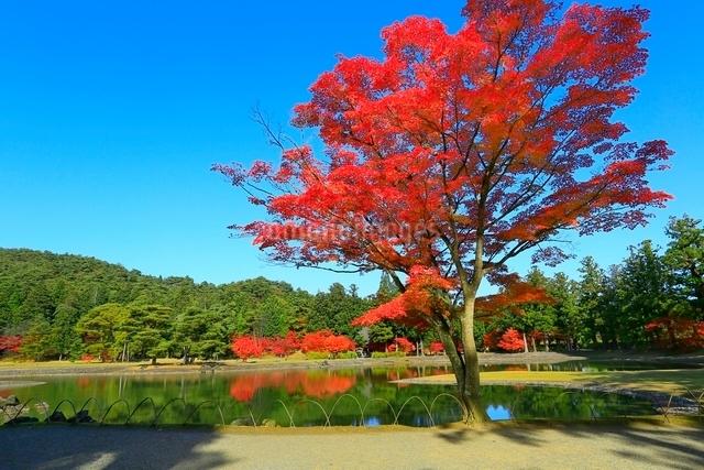 毛越寺の紅葉と大泉が池の写真素材 [FYI03059716]