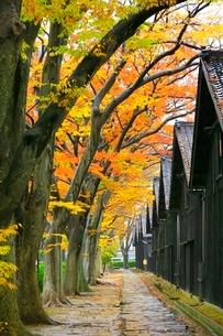 山居倉庫とケヤキ並木の紅葉の写真素材 [FYI03059717]