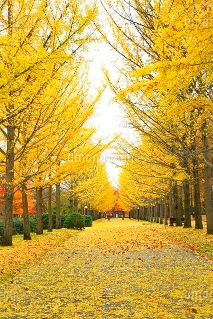 イチョウ並木の紅葉の写真素材 [FYI03059719]