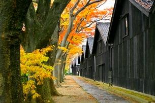 山居倉庫とケヤキ並木の紅葉の写真素材 [FYI03059720]