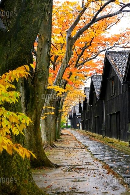 山居倉庫とケヤキ並木の紅葉の写真素材 [FYI03059721]