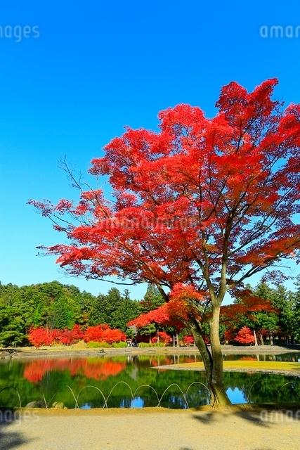 毛越寺の紅葉と大泉が池の写真素材 [FYI03059724]