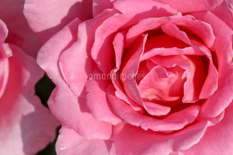 薔薇のクローズアップの写真素材 [FYI03059734]