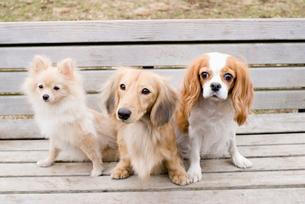ベンチに座る犬の写真素材 [FYI03059983]