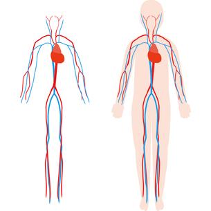 人体の静脈と動脈のイメージのイラスト素材 [FYI03060531]