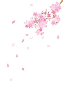 桜のイラスト素材 [FYI03061010]