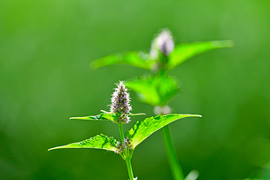 小さな花が集まって咲いている野草の写真素材 [FYI03063076]