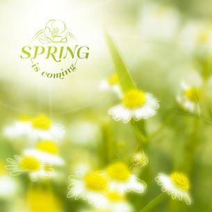 Fresh chamomile, spring background. Vector illustration.のイラスト素材 [FYI03064318]
