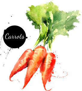Carrots. Hand drawn watercolor painting on white background. Vector illustrationのイラスト素材 [FYI03065418]