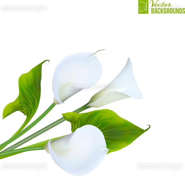 Calla lily. Vector illustration.のイラスト素材 [FYI03066205]