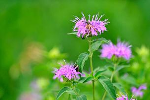 ピンクの花と集まる虫たちの写真素材 [FYI03066268]