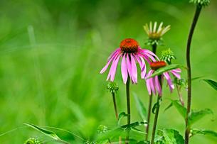 ピンクの花が草原の緑にアクセントを与えてくれるの写真素材 [FYI03067083]