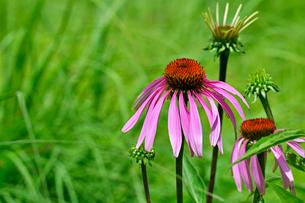 ピンクの花が草原の緑にアクセントを与えてくれるの写真素材 [FYI03067947]