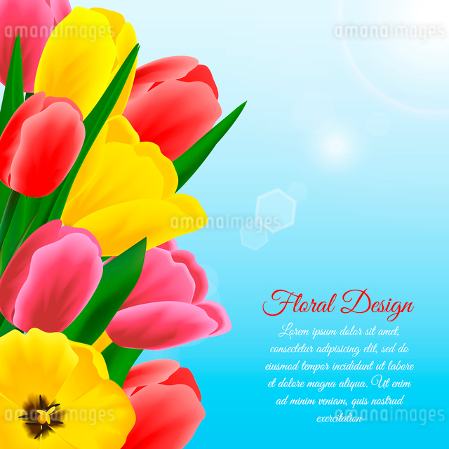 Multicolored beautiful blossoming blooming tulip flower floral design background vector illustrationのイラスト素材 [FYI03070129]