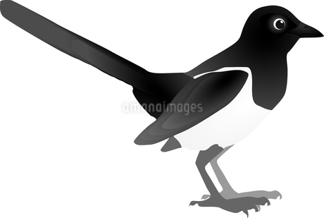 Vector image of magpieのイラスト素材 [FYI03073167]