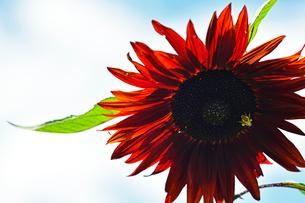 赤いひまわりと蜂の写真素材 [FYI03077481]