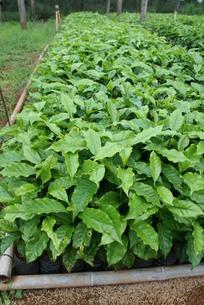 サンパウロ州で栽培されているコーヒーの苗の写真素材 [FYI03082870]