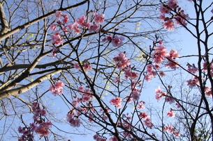 冬のサンパウロに咲く桜の花の写真素材 [FYI03084597]
