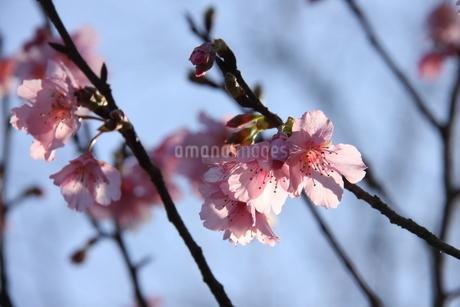 冬のサンパウロに咲く桜の花の写真素材 [FYI03085219]