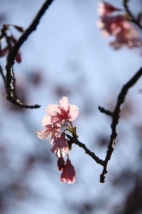 冬のサンパウロに咲く桜の花の写真素材 [FYI03085645]