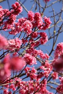 冬のサンパウロに咲く桜の花の写真素材 [FYI03086072]