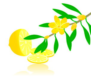 Citron paradise. Fruit of a lemon and branch of a citron plant. A vector illustrationのイラスト素材 [FYI03088682]
