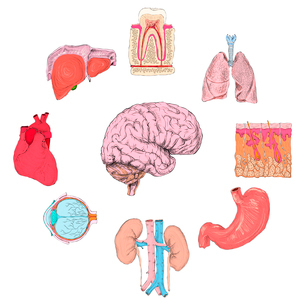 Human organs set of lungs heart brain kidney hand drawn isolated vector illustrationのイラスト素材 [FYI03091997]