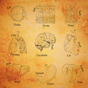 Human organs sketch set of eye skin tooth lung brain isolated vector illustrationのイラスト素材 [FYI03092007]