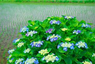 アジサイの花と田んぼの写真素材 [FYI03103198]
