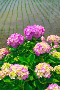 アジサイの花と田んぼの写真素材 [FYI03103201]