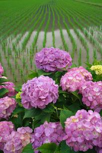 アジサイの花と水田の写真素材 [FYI03103350]