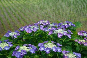 アジサイの花と水田の写真素材 [FYI03103351]