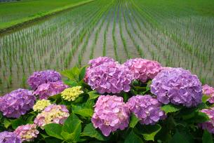 アジサイの花と水田の写真素材 [FYI03103352]
