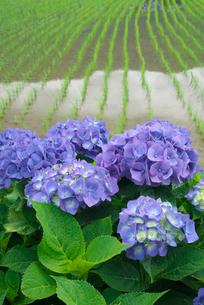アジサイの花と水田の写真素材 [FYI03103399]